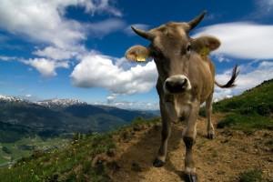 krava na horách